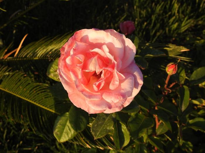 Rose, aufgenommen im Mai 2019 in Side in der Türkei